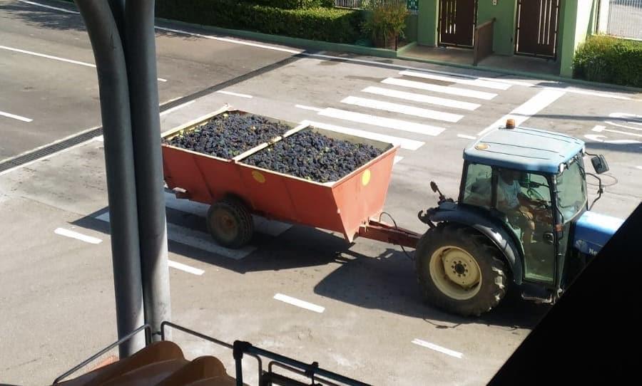 i grappoli di uva vendemmiati in cantina